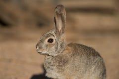Ritratto del coniglio del deserto fotografia stock libera da diritti
