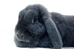 Ritratto del coniglio di lop Fotografie Stock