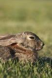 Ritratto del coniglio di silvilago Fotografia Stock