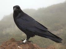 Ritratto del corvo o del corvo su La Palma Immagini Stock
