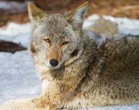 Ritratto del coyote Fotografia Stock