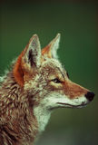 ritratto del coyote Immagini Stock Libere da Diritti