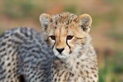 Ritratto del cub del ghepardo, Masai Mara Fotografia Stock