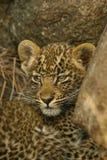 Ritratto del cub del leopardo Fotografie Stock