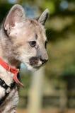Ritratto del Cub del puma Immagini Stock Libere da Diritti