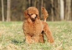 Ritratto del cucciolo del barboncino di giocattolo (esterno) immagine stock