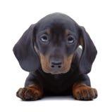 Ritratto del cucciolo del bassotto tedesco Fotografia Stock