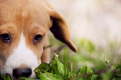 Ritratto del cucciolo del cane da lepre del primo piano Immagine Stock