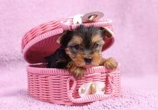 Ritratto del cucciolo del cane del terrier di Yorkshire Immagine Stock Libera da Diritti