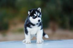 Ritratto del cucciolo del husky fotografie stock