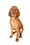 Ritratto del cucciolo del puntatore di Vizsla dell'ungherese in studio Fotografia Stock Libera da Diritti