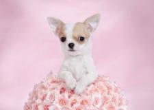 Ritratto del cucciolo della chihuahua Fotografie Stock