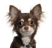 Ritratto del cucciolo della chihuahua, 6 mesi Immagini Stock Libere da Diritti