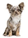 Ritratto del cucciolo della chihuahua, 8 mesi, sedentesi Immagini Stock