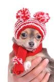 Ritratto del cucciolo della chihuahua con la capanna divertente Fotografia Stock