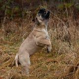 Ritratto del cucciolo di Bullmastiff 12 settimane Fotografia Stock