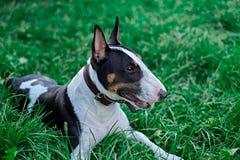 Ritratto del cucciolo di cane di Bullterrier su un'erba verde Immagine Stock Libera da Diritti