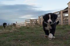 Ritratto del cucciolo di cane di border collie che vi esamina Fotografie Stock