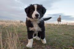 Ritratto del cucciolo di cane di border collie che vi esamina Immagini Stock Libere da Diritti