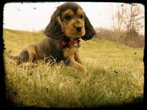 Ritratto del cucciolo di cocker spaniel Fotografia Stock