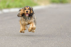 Ritratto del cucciolo di cocker spaniel Fotografia Stock Libera da Diritti