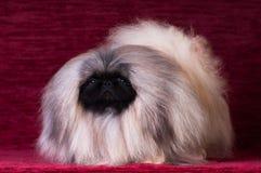 Ritratto del cucciolo di pechinese allo studio sul fondo rosso del velluto Immagini Stock
