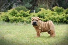 Ritratto del cucciolo di pei di Shar di cinese Immagine Stock Libera da Diritti
