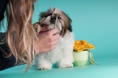 Ritratto del cucciolo di tzu di Shih allo studio Immagini Stock