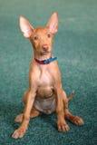 Ritratto del cucciolo divertente del segugio di faraone Fotografie Stock Libere da Diritti