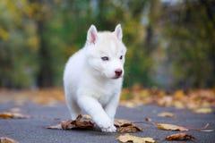 Ritratto del cucciolo del husky fotografia stock libera da diritti