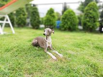 Ritratto del cucciolo del levriero italiano con il collare della perla che si siede dentro fotografia stock