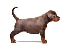 Ritratto del cucciolo marrone del doberman, 1 mese immagini stock libere da diritti