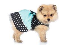 Ritratto del cucciolo pomeranian sveglio con il vestito isolato su bianco Fotografia Stock Libera da Diritti