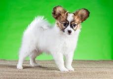 Ritratto del cucciolo sveglio di Papillon Fotografia Stock Libera da Diritti
