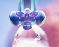 Ritratto del Damselfly, occhio estremo del colpo della libellula di Zygoptera macro della libellula di Zygoptera in selvaggio Chi fotografia stock