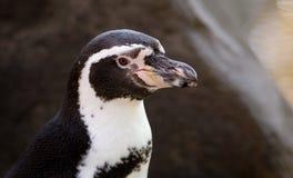 Ritratto del dettaglio del pinguino fotografia stock