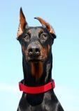 Ritratto del Doberman Immagine Stock Libera da Diritti