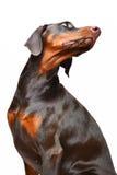 Ritratto del doberman marrone sui precedenti bianchi fotografia stock