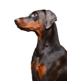 Ritratto del doberman marrone sui precedenti bianchi immagine stock