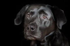 Ritratto del documentalista di labrador Immagine Stock