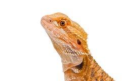 Ritratto del drago Fotografia Stock
