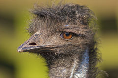 Ritratto del Emu fotografia stock libera da diritti