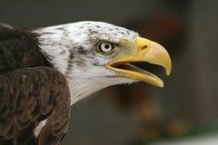 Ritratto del falco Immagini Stock Libere da Diritti