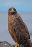 Ritratto del falco di Galapagos (galapagoensis del Buteo) immagine stock libera da diritti