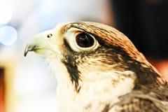 Ritratto del falco sul fondo della sfuocatura fotografia stock