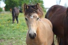 Ritratto del foal del dun della baia Fotografia Stock
