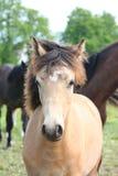 Ritratto del foal del dun della baia Fotografie Stock
