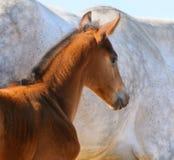Ritratto del foal della baia Fotografia Stock Libera da Diritti