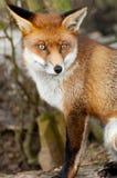 Ritratto del Fox rosso Immagine Stock Libera da Diritti