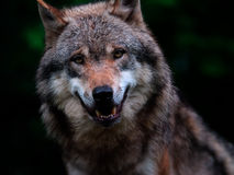 Ritratto del fronte del lupo Immagine Stock Libera da Diritti